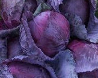 Red Express Cabbage SALE Heirloom Seeds Grown to Organic Standards
