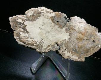 Slice of wood Auraucaria on base