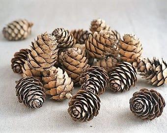 Small pine cones