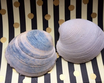 Large Clam Shell// Bivalve/