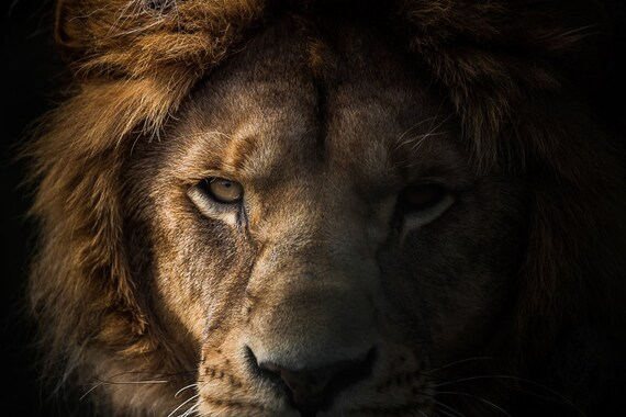 Lion Man Cave Art : Lion photographic art print head photography gift for
