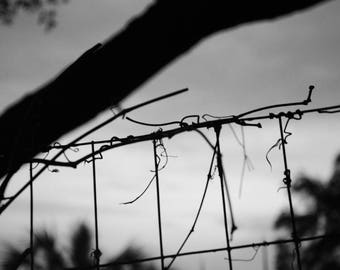 Vines On A Wire Fence B&W - Photo Paper Print