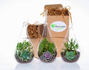 Decorative Glass Succulent Terrarium - terrarium kits, hanging terrarium, glass terrarium, hanging plants, hanging planter, succulent gifts