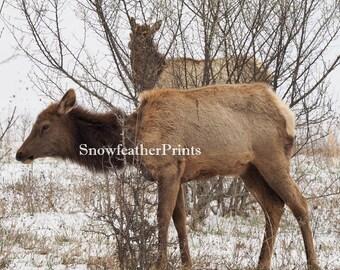 Elk Walk - Ships Free