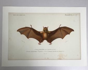 1849 French Vampire Bat, Charles D'Orbigny