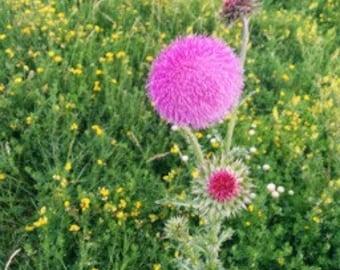 Iowa Wild Thistle Seeds
