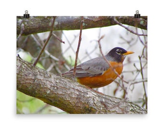 Red Robin in Tree Photo 18x24