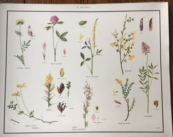 VINTAGE 1930's School Poster PEA Family Flora Educational Print Nature Study Wildflowers Flowers