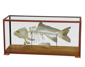vintage carp skeleton model for class circa 1950