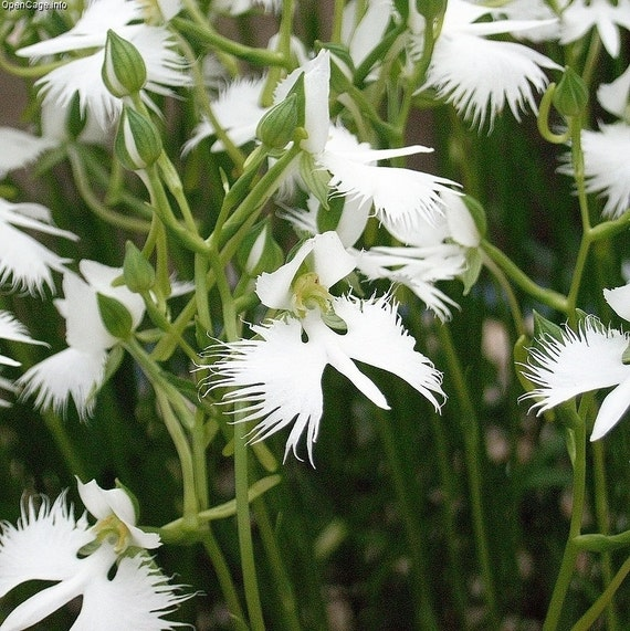 5 white doveegret flower seeds 1358 mightylinksfo Image collections