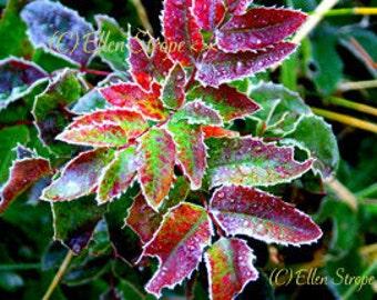PHOTO card, Oregon Grape, Oregon, frosted, fall, fall leaves, Ellen Strope, digital, digital photos, digital cards, leaves, note cards,