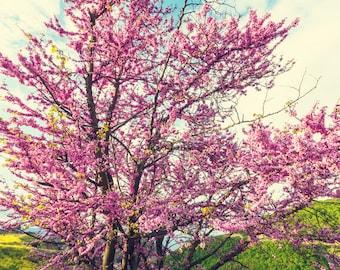 Redbud Tree - (2 Pack)
