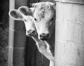 11x14 Black and White Print Cows Peeking Out Of The Barn