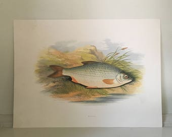 1879 roach fish print original antique sea life ocean marine animal print by houghton