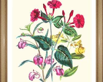 "Botanical Print. Impatiens. Flower Print. Flower Art. Botanical Wall Art. 8x10"""