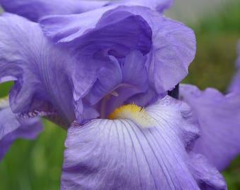 Blue Iris Canvas Print #978