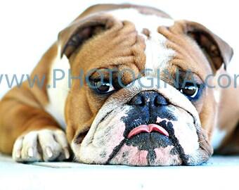 English Bulldog Kisses. Fine Art Lustre Photo Print. Dog Photography.