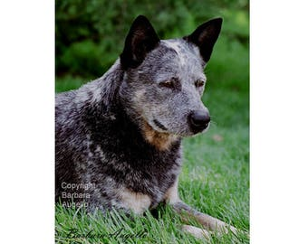 Australian Cattle Dog Flag, Australian Cattle Dog Gift, Australian Cattle Dog