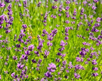Flower Photography - Lavender Fields - Winery - Sonoma, CA - Fine Art Photograph - Kitchen Wall Art