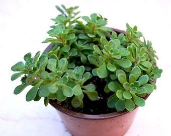 """Aeonium 'Irish Bouquet' 4"""" Pot"""