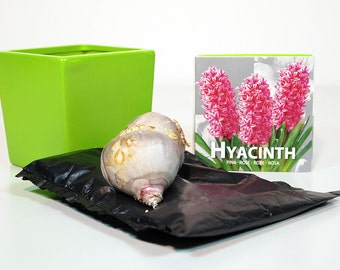 "Indoor Hyacinth Kit - 4"" Glazed Ceramic Pot - 3 Bulbs plus Soil"