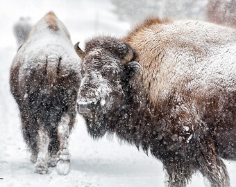 Bison in Winter, Yellowstone National Park Buffalo, Nature Photography, Yellowstone Snow, Cabin Decor, Steve Traudt, Wall Art, Home Decor