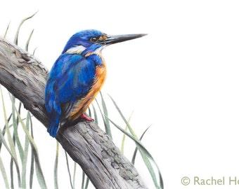 Bird Art - Azure Kingfisher Art Print 8x10 - Kingfisher Art - Australian Bird Art - Australian Wildlife Art