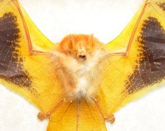 Real Framed Kerivoula Picta Painted Bat Woolly Bat Bizarre Orange Taxidermy Bat B1307-B