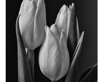 Tulips, Black and White, Flowers, Fine Art, Nature