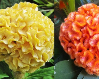 Coral Gardens Mixed Colors Cockscomb  50 + seeds