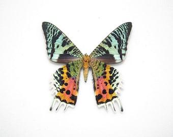 One Real Madagascar Sunset Moth Butterfly Chrysiridia rhipheus