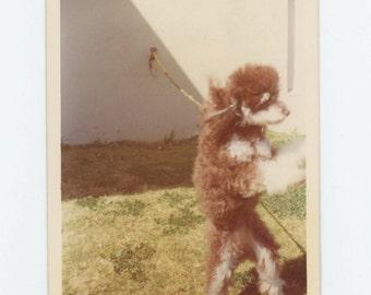 Vintage Snapshot Photo: Poodle, c1970s (612535)