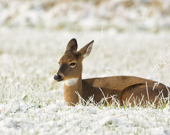 Young Doe Enjoying the New Snow