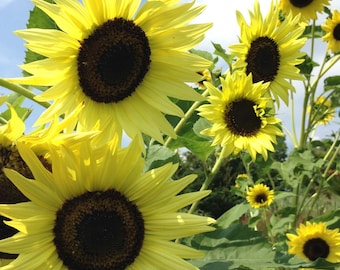 Lemon Queen Sunflower Seeds, Annual Helianthus, Flower Farm Favorite, Great for Pollinator Gardens and Cut Flowers