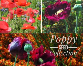Poppy Seeds. 3 Poppy Seed Varieties, Poppy Garden Collection, Shirley Poppies, Breadseed Poppies in Mixed Colors