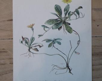 Vintage Plant Teaching Board: Small Habuchtskraut