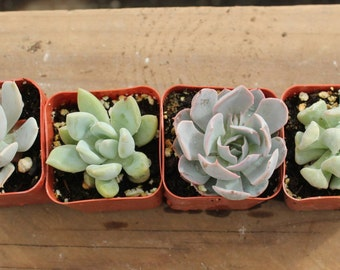"SAMPLE 5 TOTAL Assorted Succulent in 2"" container plants Collection succulents great for wedding favor & gifts or samples"