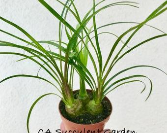 """Beaucarnea recurvata Ponytail Palm Tree, Bottle Palm Tree, Elephant Foot Tree, Nolina recurvata miniature succulent plants in 2"""" pot"""