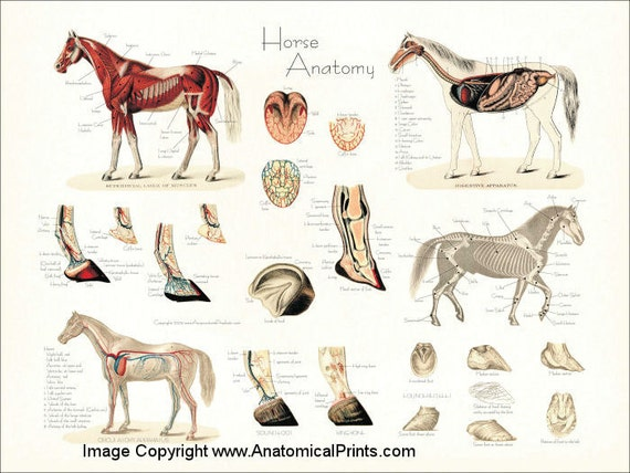 Pferd Anatomie Poster Wall Chart 18 X 24