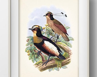 Queen Carola's Parotia Bird of Paradise - BP-17 - Fine art print of a vintage natural history antique illustration