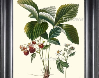 BOTANICAL FRUIT PRINT Poiteau 8x10 Botanical Art 40 Beautiful Wild Raspberry Strawberry Forest Flower Nature to Frame Wall Home Decor
