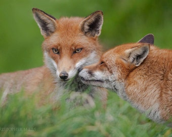Fox Love by Christopher Mills - A4, A3 or A2 Fine Art Giclee Photographic Print | Nature Photography - Animals/Foxes/Wildlife Prints