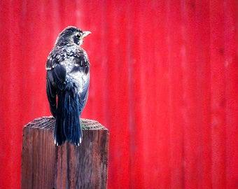 Bird Prints, Blackbird Picture, Nature Prints, Bird Photography, Nature Photography, Nature Photo, Blackbird Print, Nature Photography Print