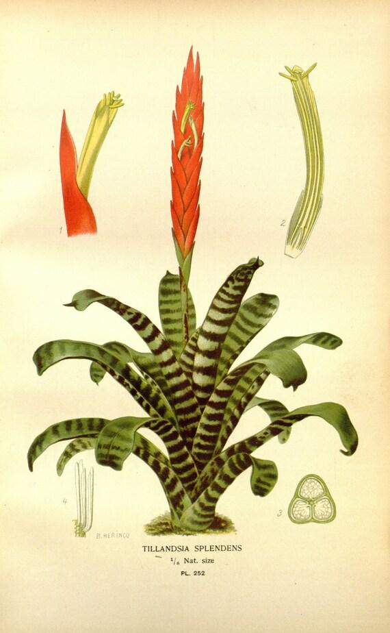 Tropische Pflanzendruck botanische Druck Jahrgang Botanische
