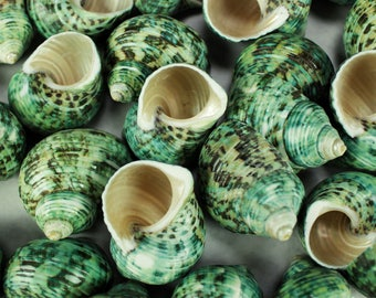"Multipack 1.75""-2"" Turbo Shell mouth opening sizes approx 7/8 inch polished green seashell Hawaii turban hermit crab shells"