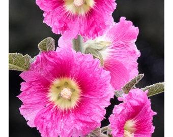 Nature Series Seven: Pink Hollyhocks