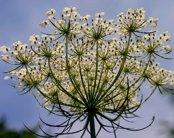 Titania's Crown - Queen Anne's Lace Photo Notecard, Photo Greeting Card, Blank Greeting Card, Floral Photo Notecard, Stationery