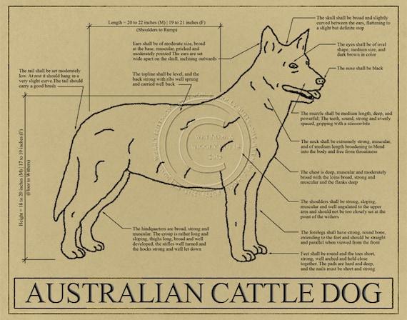 Australian cattle dog blueprint elevation australian cattle australian cattle dog blueprint elevation australian cattle dog art australian cattle dog wall art australian cattle dog gift malvernweather Gallery