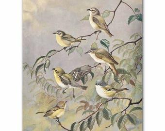 "Bird Wall Art, Bird Print (Vintage Home Decor, Living Room Artwork) --- ""Yellow Vireos"" No. 79"
