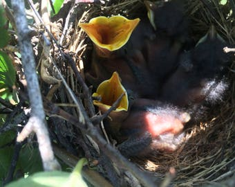 Hungry Baby Birds Photograph